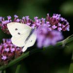 Witte vlinder rouw blog